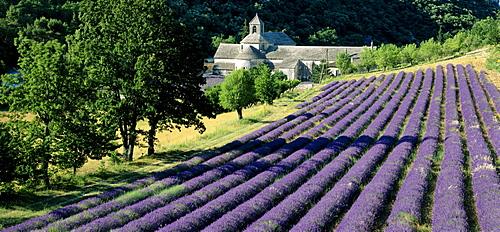 Lavender field., Abbaye de SÈnanque, Cistercian Abbey, near Gordes, Vaucluse, Provence, France, Europe