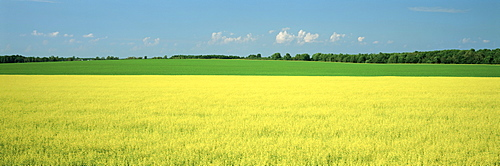 Canola Field, Bruce Township, Georgian Bay, Ontario.