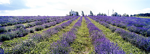 """Certified Organic English """"Lady"""" Lavender (Lavandula angustifolia) Fields, Stanstead, Fitch Bay, Quebec"""