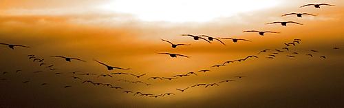 Flock of Geese Flying into Sunset, Saskatoon, Saskatchewan