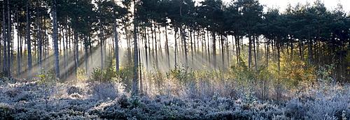 Forest sunbeams panorama, Surrey, England, United Kingdom, Europe