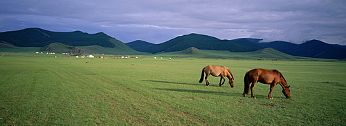Horses grazing in Orkhon valley, Ovorkhangai Province, Mongolia, Central Asia, Asia