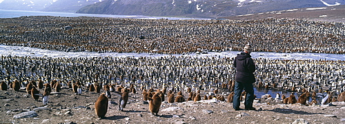 Tourist and colony of king penguins (Aptenodytes patagonicus), St. Andrews Bay, South Georgia, South America