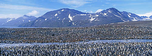 Colony of king penguin (Aptenodytes patagonicus), St. Andrews Bay, South Georgia, South America