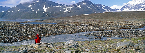 Tourist looking at colony of king penguin (Aptenodytes patagonicus), St. Andrews Bay, South Georgia, South America