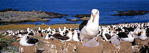 Colony of black-browed albatross (Thalassarche melanophrys), the largest in the world with up to 150000 pairs, Steeple Jason Island, Falklands, South Atlantic, South America