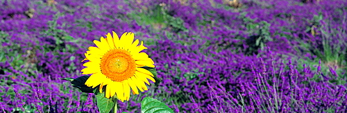Lone sunflower in Lavender Field, France