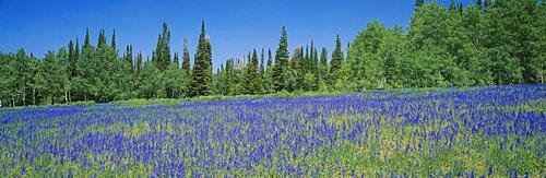 Lupine flowers in a field, Wasatch Plateau, Utah, USA