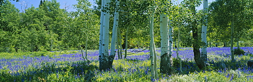 Field of lupine and aspen trees, Wasatch Plateau, Utah, USA