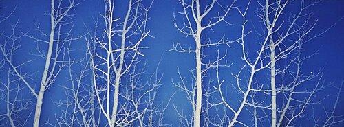 Bare Aspen Trees at Dark
