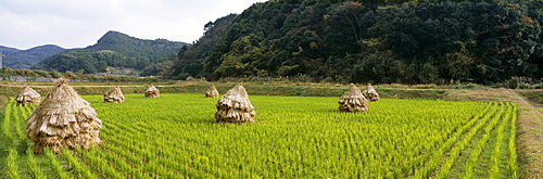 Stacks of straw on a cultivated field, Imari, Saga Prefecture, Japan