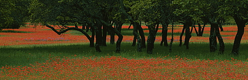 Indian paintbrush flowers and Oak trees in a park, Texas, USA