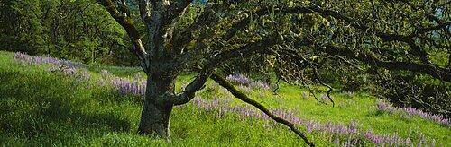 Oak tree in a field, Redwood National Park, California, USA