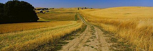 Dirt road passing through a wheat field, Palouse Region, Whitman County, Washington State, USA