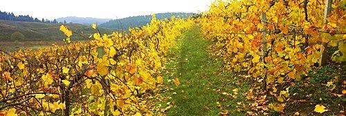 Vineyard on a landscape, Benton County, Oregon, USA