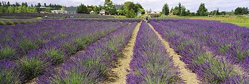 Field of lavender, Jardin Du Soleil, Sequim, Clallam County, Washington State, USA