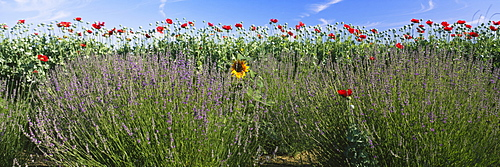 Flowers in a field, Sequim, Clallam County, Washington State, USA