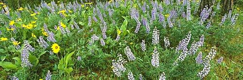 High angle view of flowers in a field, Lupine, Arrowleaf Balsamroot, Rowena Plateau, Oregon, USA