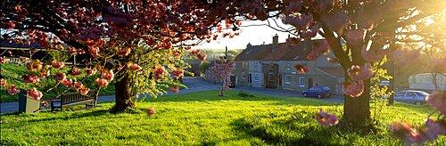 Trees On A Lawn, Muston Village, North Yorkshire, England, United Kingdom