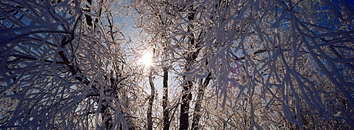 Low angle view of willow trees covered with snow, Lewis and Clark County, Montana, USA