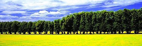 Row of Trees Uppland Sweden