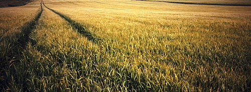 Agricultire, Farming, Combine harvester tracks through wheatfield, highlands, Scotland.