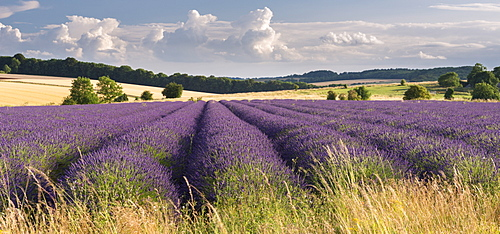 Lavender field in flower, Snowshill, Cotswolds, England, United Kingdom, Europe