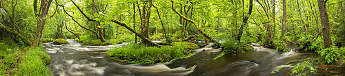 River Teign in full spate in spring, Dartmoor, Devon, England, United Kingdom, Europe