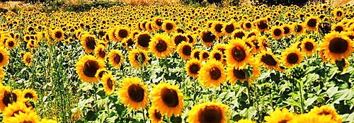 Sunflowers, Maremma, Tuscany, Italy
