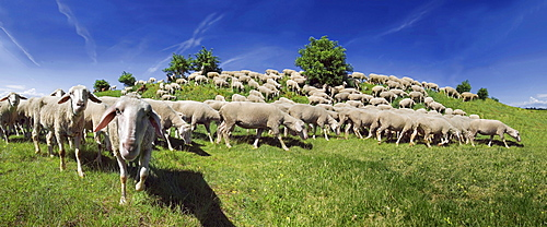 Flock of Altmuehltaler sheep grazing on a hill in Upper Eichstaett, Bavaria, Germany, Europe