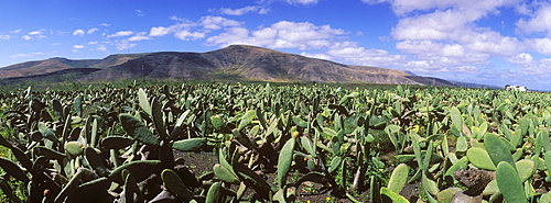 Cactus field for breeding lice for natural dyes in Guatiza, prickly pear (Opuntia ficus-indica), Lanzarote, Canary Islands, Spain, Europe