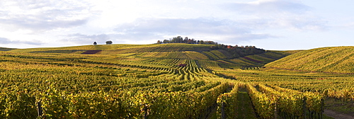 Vineyards in Hattenheim near Eltville, Rheingau, Hesse, Germany, Europe