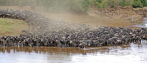 Wildebeest (Connochaetes taurinus), Gnu migration, wildebeest jostling on the shore of the Mara River, Masai Mara, East Africa, Africa