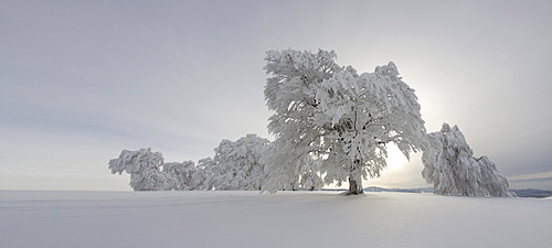 Wind swept beech tree with hoarfrost on Mt Schauinsland, Black Forest, Freiburg district, Baden-Wuerttemberg, Germany, Europe