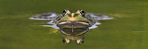 Portrait of Lowland frog in a pond, France