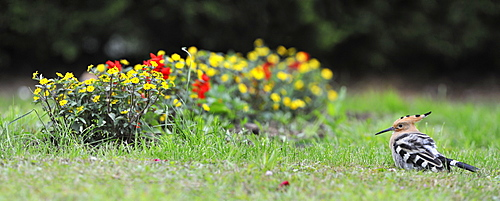 Hoopoe in the grass in a garden, France