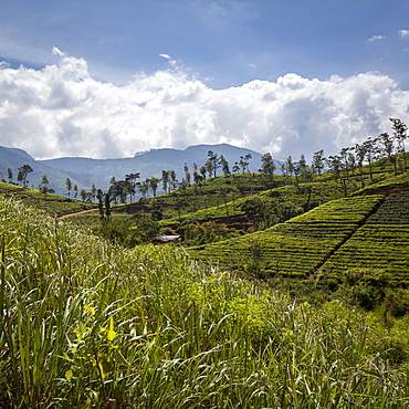 Tea plantations in the Hill Country, Sri Lanka, Asia