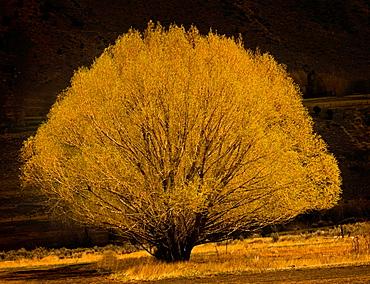 Yellow Willow Tree; Gardner; Montana