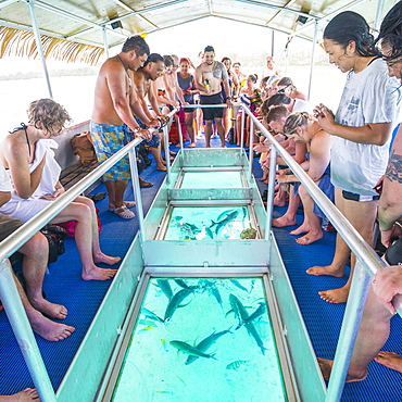 Bluefin Trevally feeding under the glass bottom boat of Captain Tama's Lagoon Cruises, Muri Lagoon, Rarotonga, Cook Islands, South Pacific, Pacific