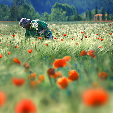 Woman picking boquet of marguerites, Provence, France
