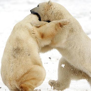 Polar bears sparring, Churchill, Manitoba