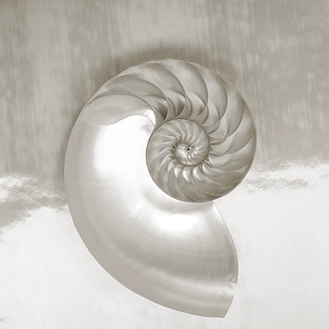Pearl nautilus shell half showing chambers and spiral (Sepia photograph).