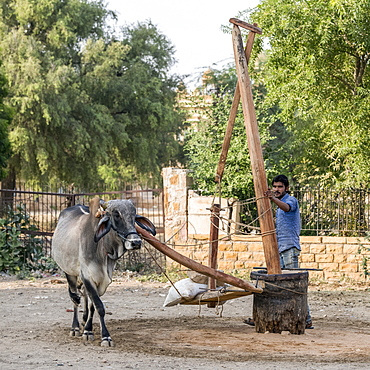 Cow walks in a circle to turn a piece of manmade equipment, Jaisalmer, Rajasthan, India