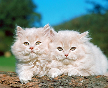 Persian Cats, cameo, kittens