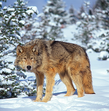 Wolf / (Canis lupus)