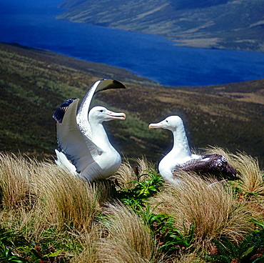 Royal Albatrosses, pair at nest / (Diomedea epomophora epomophora)