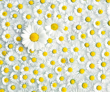 Daisy blossom and English Daisies / (Chrysanthemum spec.), (Bellis perennis)
