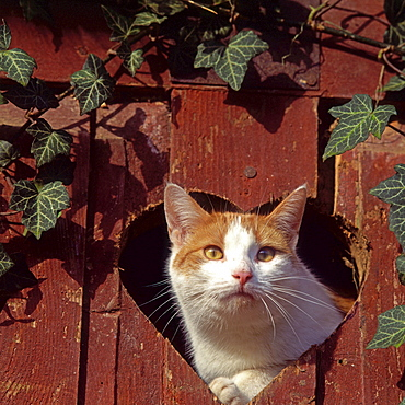 Domestic Cat, looking through heart shaped hole in door