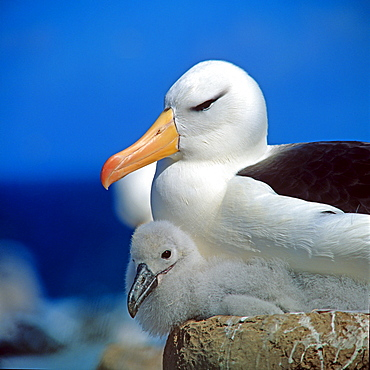 Black-browed Albatross with chick at nest / (Diomedea melanophris, Thalassarche melonophris) / Black-browed Mollymauk