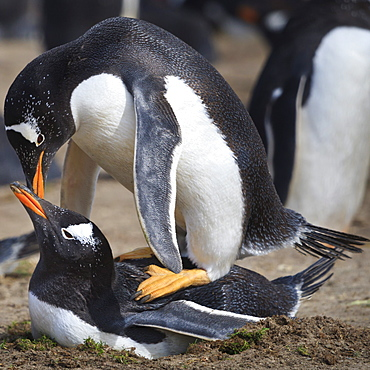 Rockhopper penguins (Eudyptes chrysocome) mate during breeding season, Sea Lion Island, Falkland Islands, South America